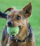 Yorkshire Terrier Dog Breed. A 7 year old male Yorkshire Terrier playing with ball, in a local park, Liverpool Stock Images