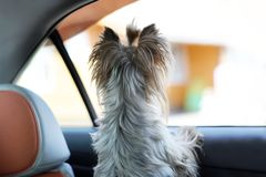 Yorkshire terrier dog in a car seat looks out of the car window Royalty Free Stock Photos