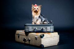 Yorkshire terrier dog on case. Cute Yorkshire terrier dog sat on suitcases; studio background Royalty Free Stock Photography