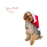 Yorkshire terrier dog in christmas cap Royalty Free Stock Photo