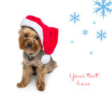 Yorkshire terrier dog in christmas cap Stock Photo
