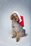 Yorkshire terrier dog in christmas cap Royalty Free Stock Image
