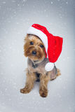 Yorkshire terrier dog in christmas cap Stock Photos