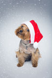 Yorkshire terrier dog in christmas cap Royalty Free Stock Photos