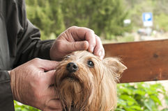 Yorkshire terrier dog closeup Royalty Free Stock Image