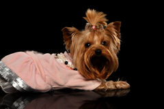 Yorkshire Terrier Dog in Clothes Lying on Black Mirror stock images