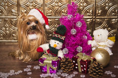 Yorkshire terrier dog dressed up like santa Stock Photos