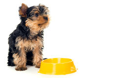 Yorkshire Terrier dog eats from a bowl isolated Royalty Free Stock Photography