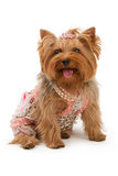 Yorkshire Terrier Dog in Fancy Clothes Stock Photo
