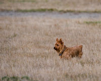 Yorkshire Terrier dog in field Royalty Free Stock Photos