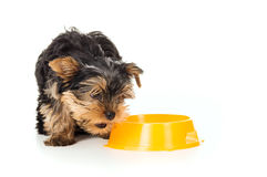 Yorkshire Terrier Dog with food bowl Stock Photography