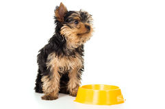 Yorkshire Terrier dog is with food bowl isolated Stock Photo