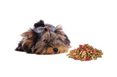 Yorkshire Terrier and dog food on white background Royalty Free Stock Photos