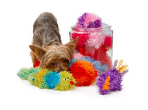 Yorkshire Terrier Dog with Fuzzy Toys Royalty Free Stock Image