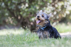 Yorkshire Terrier Dog. In the garden Stock Photography