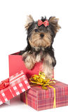 Yorkshire terrier dog in a gift box Stock Images
