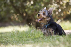 Yorkshire Terrier Dog in the grass Stock Image