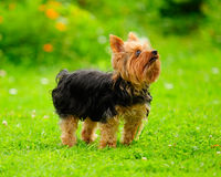 Yorkshire Terrier Dog on the Grass in Summer Royalty Free Stock Photo