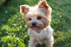 Yorkshire Terrier Dog on the green grass Stock Image