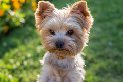 Yorkshire Terrier Dog on the green grass Stock Images