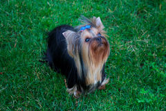 Yorkshire Terrier Dog on the green grass Stock Photos