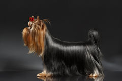 Free Yorkshire Terrier Dog Groomed Hair Standing On Black Royalty Free Stock Photography - 66175637