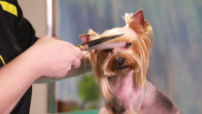 Yorkshire terrier dog grooming stock footage