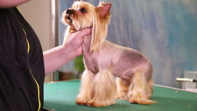 Yorkshire terrier dog grooming at pet salon stock footage