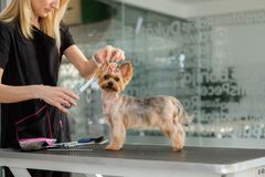 Yorkshire terrier at a dog grooming salon.  royalty free stock photos