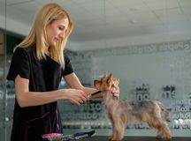 Yorkshire terrier at a dog grooming salon.  royalty free stock images