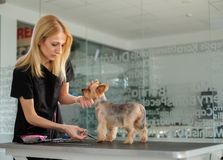Yorkshire terrier at a dog grooming salon.  stock photo
