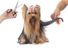 Yorkshire terrier dog grooming. On white background stock photos