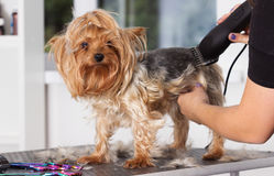 Yorkshire terrier dog on a hairstyle. In a grooming salon Stock Photography