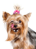 Yorkshire terrier dog licking its nose Royalty Free Stock Photos