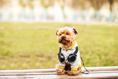 Yorkshire terrier dog listening music on the street. Yorkshire terrier listening music on the street . Dog in windcheater whith headphones Royalty Free Stock Image