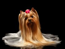Yorkshire Terrier Dog with long groomed Hair Lying on black Stock Photo