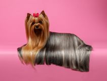 Yorkshire Terrier Dog with long groomed Hair Lying on Pink Royalty Free Stock Photos
