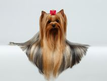 Yorkshire Terrier Dog with long groomed Hair Lying on White Royalty Free Stock Photos