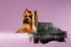 Yorkshire Terrier Dog with long groomed Hair Lying on White Royalty Free Stock Photography