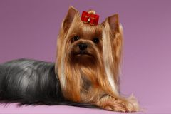 Yorkshire Terrier Dog with long groomed Hair Lying on White Stock Image