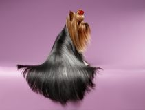Yorkshire Terrier Dog with long groomed Hair Sits on Purpure Royalty Free Stock Photography