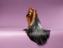 Yorkshire Terrier Dog with long groomed Hair Sits on Purpure Stock Photo