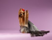 Yorkshire Terrier Dog with long groomed Hair Sits on Purpure Royalty Free Stock Images