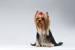 Yorkshire Terrier Dog with long groomed Hair Sits on white Royalty Free Stock Photography