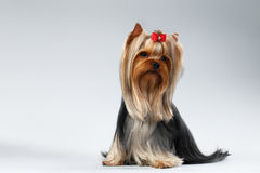 Yorkshire Terrier Dog with long groomed Hair Sits on white Stock Photos