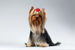 Yorkshire Terrier Dog with long groomed Hair Sits on white Royalty Free Stock Images