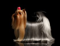 Yorkshire Terrier Dog with long groomed Hair Stands on black Royalty Free Stock Image