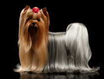 Yorkshire Terrier Dog with long groomed Hair Stands on black Royalty Free Stock Photo