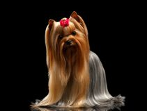 Yorkshire Terrier Dog with long groomed Hair Stands on black Royalty Free Stock Photos