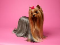 Yorkshire Terrier Dog with long groomed Hair Stands on Pink Royalty Free Stock Photo